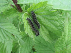 Small Tortoishell Caterpillars