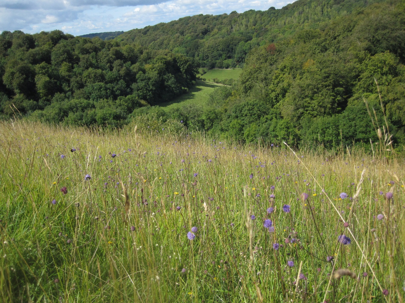 View from Rough Bank looking towards the Slad Valley, with Devil's Bit Scabious in the foreground