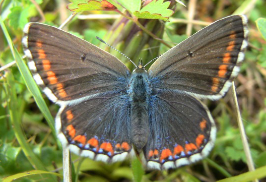Female Common Blue - Andrew Brown
