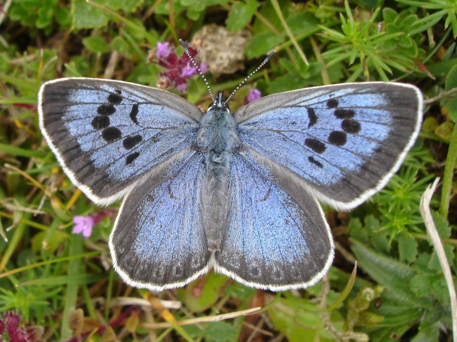 Large Blue - Martin Warren