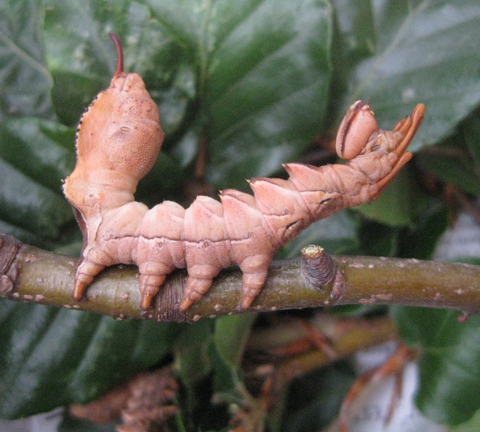 <p><b>Lobster Moth Caterpillar</b> Although the Lobster Moth is quite common its caterpillar is rarely seen as they are usually high up in oak or beech trees. This is a normal resting pose. <b>&copy;</b>&nbsp;Bob Smith