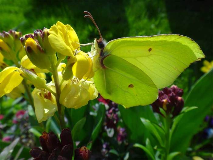 <p><b>Brimstone</b> Photographed at Huntley Churchyard <b>©</b> David Cross