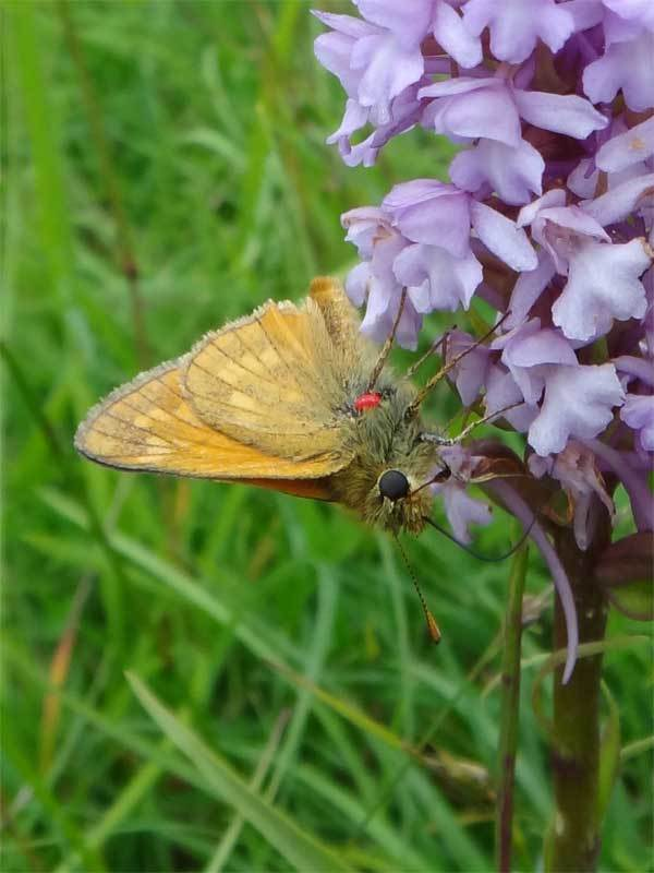 <p><b>Large Skipper</b> This butterfly along with a red parasitic mite was on a fragrant orchid on Rodborough Common <b>©</b> David Cross