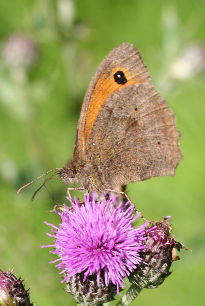 <p><b>Meadow Brown</b>  <b>©</b> Jo Stafford
