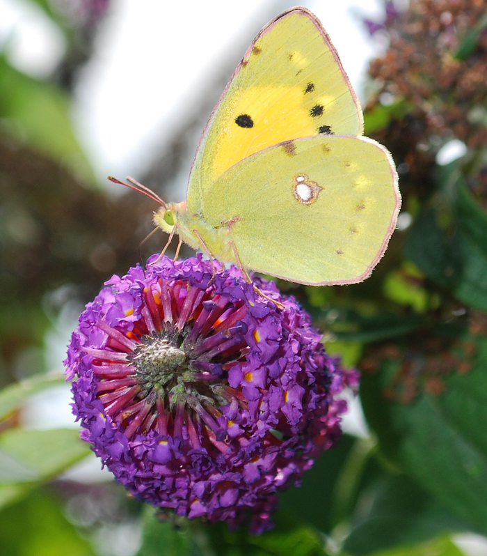 <p><b>Clouded Yellow</b> A passing Clouded Yellow refuelling at a garden Buddleia. This butterfly fed actively for an hour or two before leaving as suddenly as it had arrived. Ablington, August 2013 <b>&copy;</b>&nbsp;Ruth Wollen