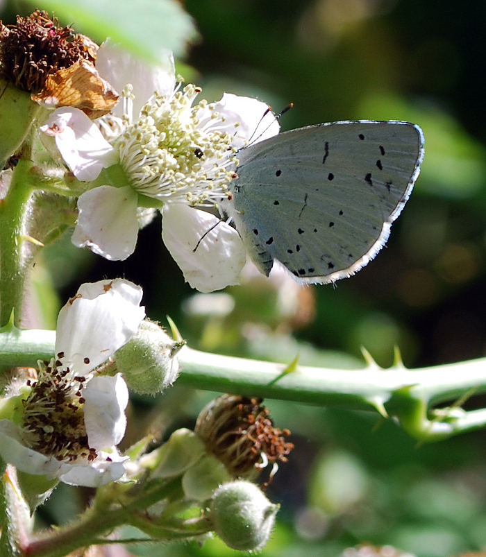 <p><b>Holly Blue</b> A Holly Blue delves into the bramble flowers on the overgrown bank beside Dowdeswell Reservoir. July 26th 2013 <b>&copy;</b>&nbsp;Ruth Wollen