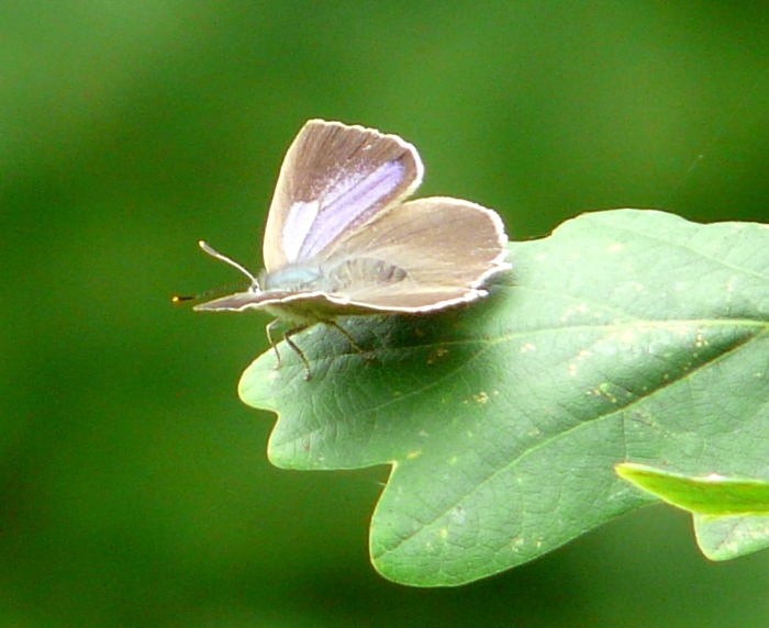 <p><b>Purple Hairstreak</b> Photographed at Sherborne 27th July 2013. A couple were seen, fortunately at a low level, on the edge of an oak woodland. <b>&copy;</b>&nbsp;Terry Fenton