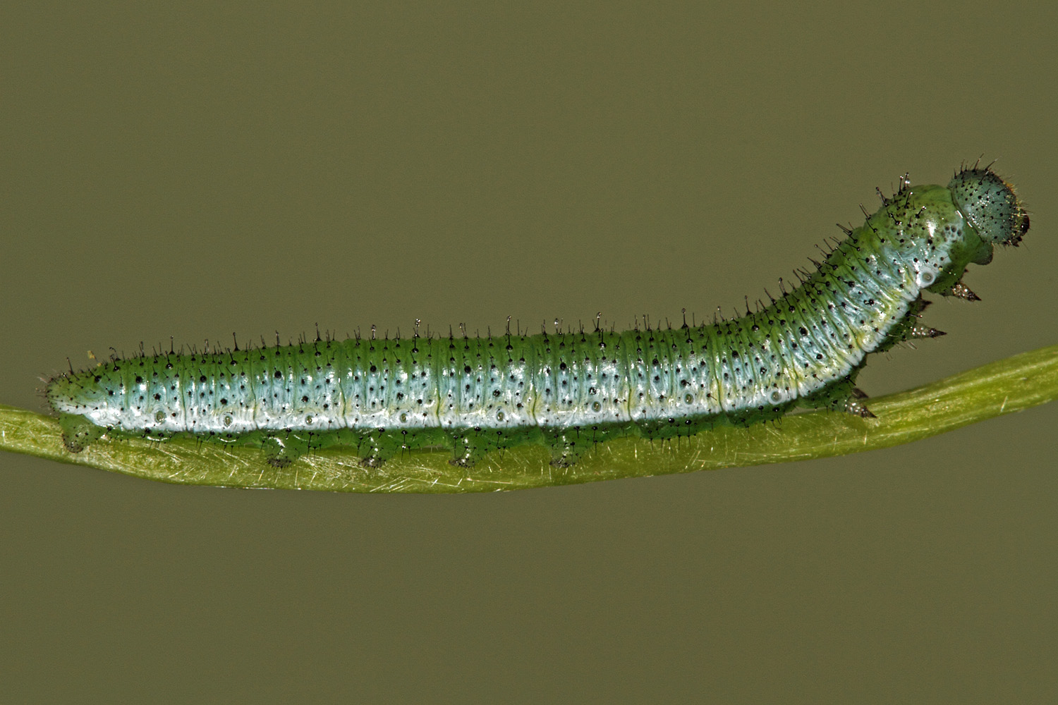 Mature larva