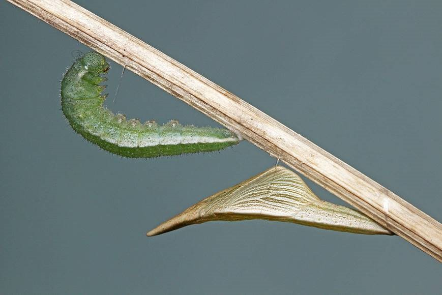A fresh pupa and another larva preparing to pupate next to it