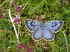 Large Blue - Somerset (Martin Warren)