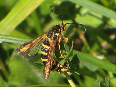 Six-belted Clearwing female
